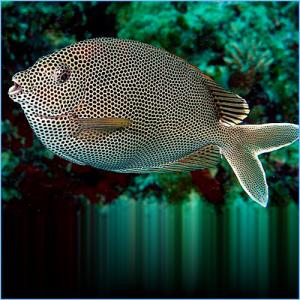 Starry Rabbitfish or Honeycomb Rabbitfish