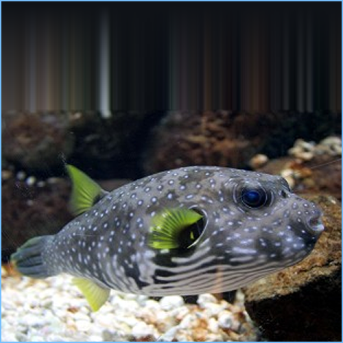 Stars & Stripes Puffer or Whitespotted Pufferfish