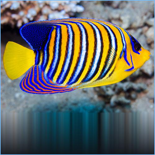 Sumatra Regal Angelfish
