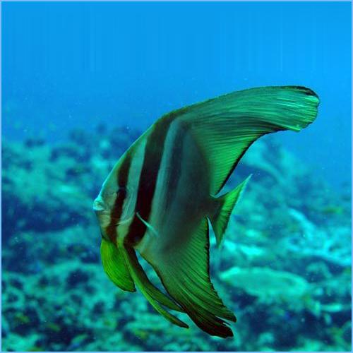 Teira Batfish or Longfin Spadefish