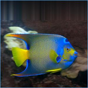 Townsend Angelfish or Bermuda Blue Angelfish