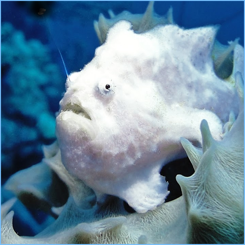 White Anglerfish or White Frogfish