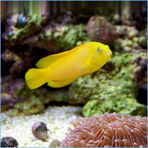 Yellow Dottyback