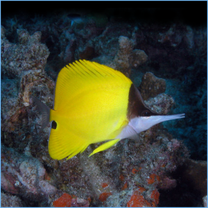 Yellow Longnose Butterflyfish or Forceps Butterflyfish