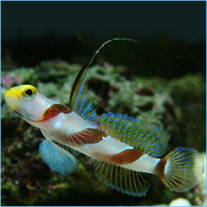 Yellow Rose Goby or Hi-Fin Red Banded Goby