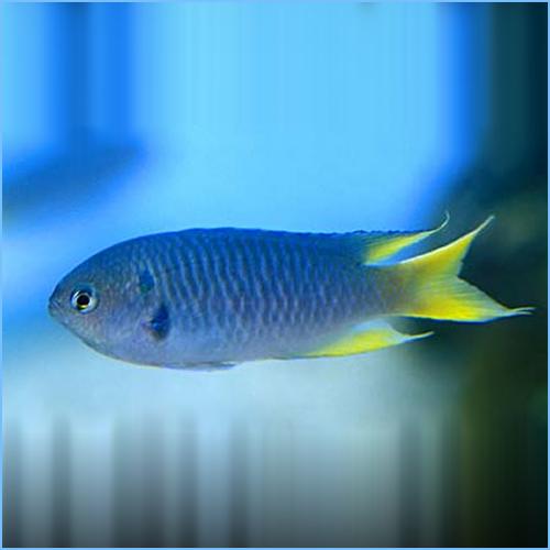 Yellow Tail Chromis Damselfish