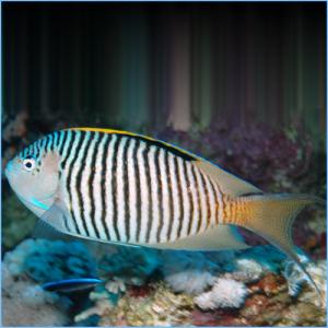 Zebra Lyretail Angelfish Male